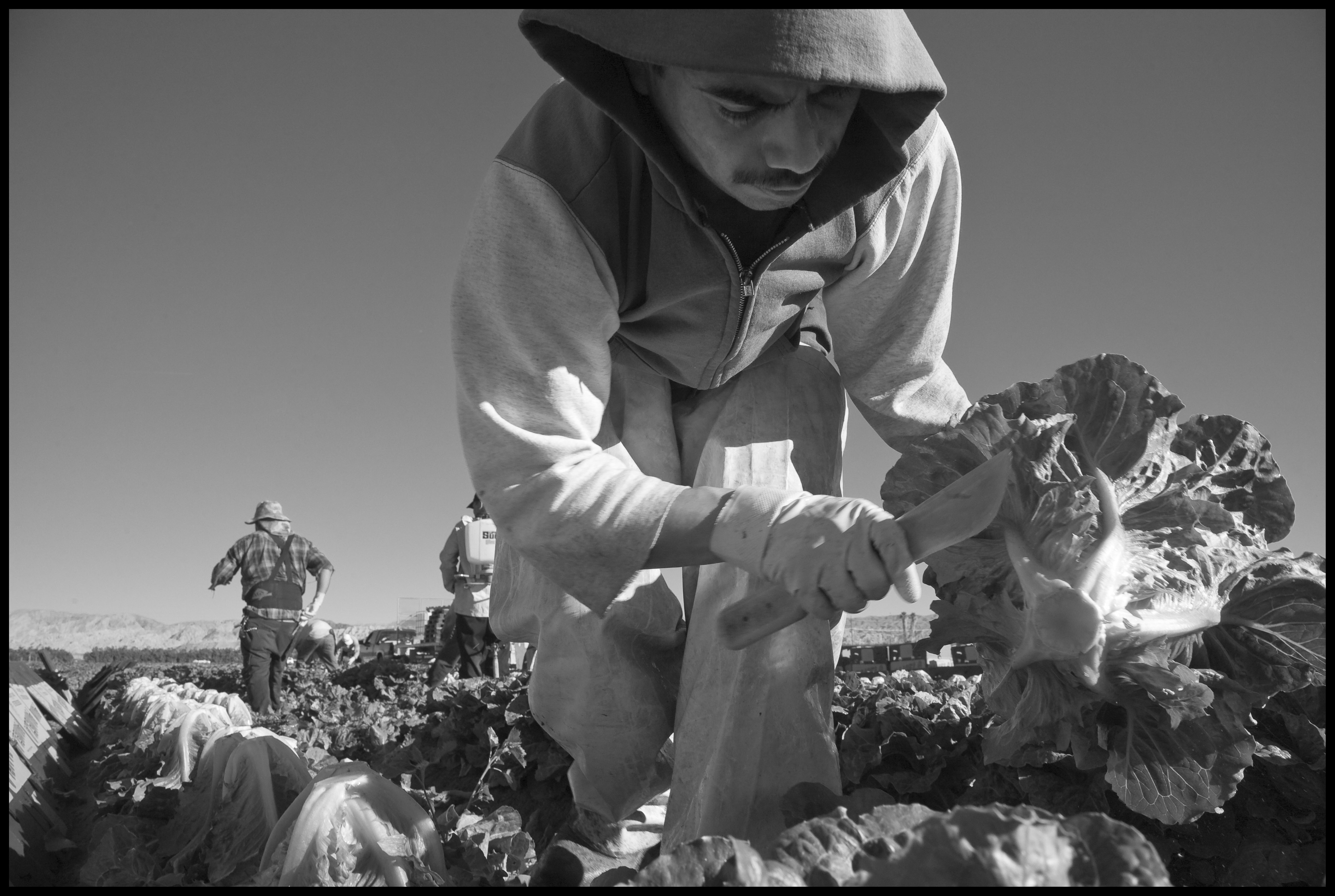 COACHELLA, CA - 2007 -A crew of farm workers harvests romaine lettuce for Pamela Packing Company near Mecca, in the Coachella Valley. (c) David Bacon