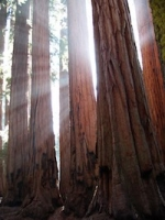 Sunlight through the giant Sequoia Trees