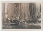 Three tourists sit in an early automobile in front of a grove of giant sequoias.