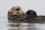Sea otter, image by Mike Baird