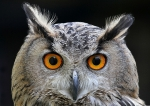 Holly the Eurasian Eagle Owl