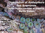 PowerPoint slide from SDR online deposit on Anthopleura Sea Anemone Distribution in the Rocky Intertidal at Hopkins Marine Station