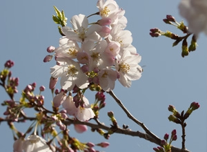Blossoming trees around campus.