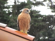 A red shouldered hawk admiring the library's new gutters in the morning rain.