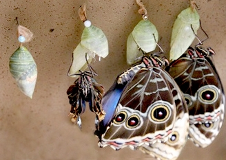 butterflies emerging from cocoons, photo by Jeff Friend