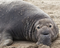Elephant seal, image by Jim Bahn