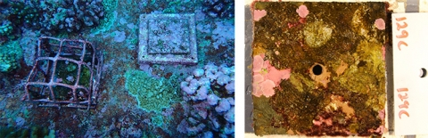 Images of one study tile in place at the Palmyra Atoll (left) and in the lab after collection.